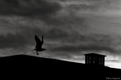 Alzando el vuelo al amanecer - Taking flight at sunrise (Eva Ceprin) Tags: roof blackandwhite blancoynegro clouds dawn seagull amanecer nubes tejado gaviota nikond3100 tamron18270mmf3563diiivcpzd evaceprin