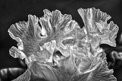 Tip of the Iris (BW) (brev99) Tags: iris blackandwhite bokeh shallowdof springflower woodwardpark tulsagardencenter dxoopticspro tonality colorefex d7100 topazdenoise tamron180f35 topazdetail macphun