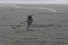 All Photos-9287 (jlh_lunasea) Tags: ocean dog beach romeo manzanita huskador