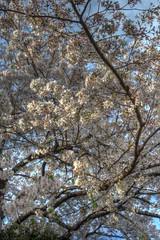 Tennoji Park area, Osaka on APR 05, 2016 (17) (wakkanai097) Tags: japan nikon april sakura osaka hdr 2016 p7700