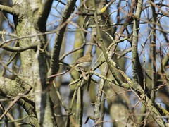 Not a Chiffchaff (Wildlife Terry) Tags: naturereserve silverdale aonb rspb leightonmoss sssi wildlifenatureamateurphotography