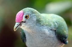 duif artis JN6A9953 (j.a.kok) Tags: bird pidgeon artis vogel duif