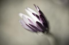 Emerging (2) (zzra) Tags: flower macro up field nikon close purple bokeh sigma shallow 105 depth desaturate