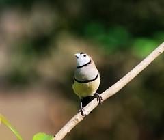 Owl Finch (Rockyrosa) Tags: birds florida finch cms gouldian rockyrosa