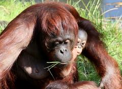 Am I On Camera? (Ger Bosma) Tags: baby closeup zoo head mother together orangutan primate apenheul nipper orangoutang pongopygmaeus orangoetan orangotango orangutn borneanorangutan wattana borneoorangutan borneoseorangoetan  orangutndeborneo orangoutandeborno 2mg174061