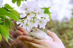 DSC_6697 () Tags: pet animal hamster