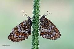 Vedo doppio (Claudio61 una foto ferma un ricordo nel tempo) Tags: macro texture canon dettagli claudio colori farfalle canon7d