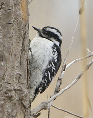 Downey Woodpecker (hart.hendrik) Tags: bird nature female woodpecker downey