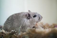 _IGP6278 (edmundrt) Tags: pet cute gerbil rodent pentax macrolens k7 smcpentax pentaxk7