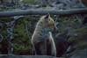 Renard roux / Red Fox [Vulpes vulpes] (Curculion) Tags: canada québec mammals qc mammalia carignan carnivores montérégie carnivora chordata eutheria canidae tetrapoda mammifères theria canidés carnivorans renardcommun renardrouge lavalléedurichelieu smcpentaxfa250600mmf56edif îlefryer renardrouxredfoxvulpesvulpes pentaxk3ii pentaxsmcpfa250600mmf56edif