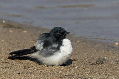 Puffed up willie wagtail (kasia-aus) Tags: white black bird nature water animal wildlife fluffy australia round canberra rhipiduraleucophrys williewagtail