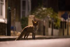 Urban Fox (- Alex Witt -) Tags: street urban london alex night fox witt