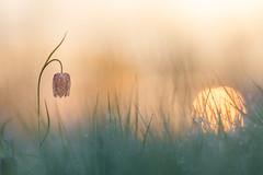 Mademoiselle fritillaire au rveil (YannW) Tags: flower nature fleur canon bokeh 300mm 6d mayenne fritillaire