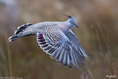 (704a) Crested Pigeon - [ Jawbone Coastal Park, Australia ] (tinyfishy's World Birds-In-Flight) Tags: bird flying inflight pigeon australia melbourne crested