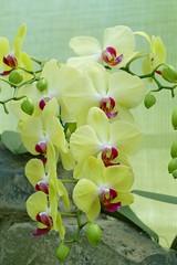 Panasonic FZ1000, Orchids, Botanical Gardens, Montral, 24 April 2016 (12) (proacguy1) Tags: orchids montral botanicalgardens panasonicfz1000 24april2016