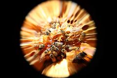 #FotoDelDa Ecatzingo, con dulce sabor a miel (Candidman) Tags: abejas del mexico foto fotos candidman da ecatzingo mxico estadodemxico