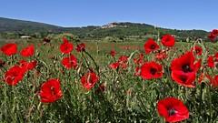 Coquelicots en Luberon - Poppies in Luberon (GCau) Tags: france poppies luberon lacoste coquelicots gecau