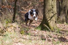Brooke (StarryEyedAussie) Tags: dog dogs puppy shepherd australian ivy brooke hund aussie hunde welpe aussiebrooke aussieivy