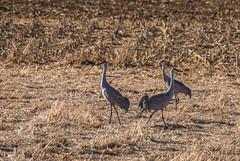 160310-Spring Migration-10 (Lynnette_) Tags: birds animals march spring nebraska seasons events places cranes rivers month sandhillcranes 2016 springmigration platterivervalley naturesubjects cranemigration cranescootsandrails