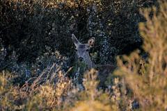 Deer (annannavarro) Tags: wild mountains nature fauna forest spain deer bosque wilderness montaa ciervo mamferos