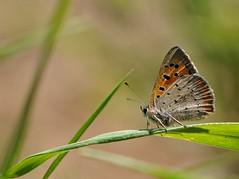 colorando... (andrea.zanaboni) Tags: macro colors butterfly eyes nikon ngc occhi colori prato farfalla