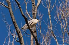 Tout qu'un regard! (pascaleforest) Tags: blue bird nikon bleu passion oiseau bihoreau natire ilrouge d7200