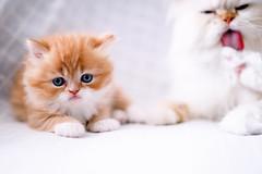 mother care (koolandgang) Tags: boy orange baby beautiful tongue cat persian kitten feline bokeh blueeyes handsome kitty reis carrot kedi babycat havu portakal irankedisi nikond700 kedici nikon50mmf14g