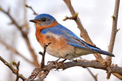 Spring Bluebird (NaturalLight) Tags: male kansas bluebird eastern wichita chisholmcreekpark