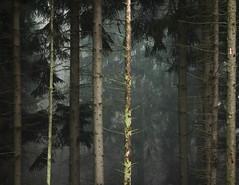 * (sedregh (on/off)) Tags: trees mist fog forest woods nebel eifel wald bume
