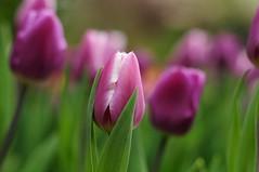 tulip (demonblue1974) Tags: nikon tulip d300s