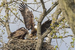 FISH DINNER AT THE NEST IN BROOKVILLE, INDIANA (nsxbirder) Tags: fish baldeagle indiana haliaeetusleucocephalus brookville whitewaterriver franklincounty