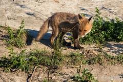 FoxSBahn-0089.jpg (mono-foto) Tags: wien tiere fuchs säugetiere
