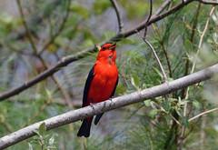 Scarlet Tanager (male) (av8s) Tags: nature birds photography nikon pennsylvania wildlife sigma pa scarlettanager tanager songbirds perchingbirds d7100 nescopeckstatepark 120400mm