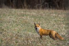 Good evening (Nick DiRico) Tags: red field dinner evening spring nikon vermont zoom wildlife meadow fox fairfax predator vt redfox d7100