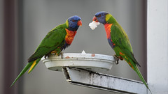 Rainbow Lorikeets (Merrillie) Tags: nature birds animals fauna nikon wildlife lorikeet australia nsw rainbowlorikeet woywoy d5500 nswcentralcoast centralcoastnsw woywoywaterfront