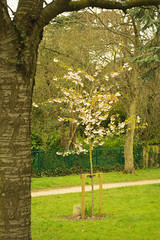 20160424-03_Memorial Flowering Cherry Tree_Top Green Coventry (gary.hadden) Tags: park flowers tree memorial pretty romantic coventry floweringcherry topgreen