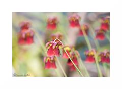 Carnivorous (francine koeller) Tags: pink flower fleur rose carnivorous carnivore