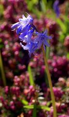 Hyazinthe, Garten- / garden hyacinth (hyacinthus) (HEN-Magonza) Tags: nature germany deutschland flora natur mainz springtime frhling rheinlandpfalz hyacinthus hyazinthe rhinelandpalatinate gardenhyacinth gartenhyazinthe botanischergartenmainz mainzbotanicalgardens