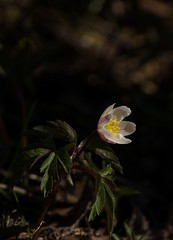 Wood anemone. (janrs7) Tags: flower nature norway closeup forest norge spring flora april wildflower forestfloor hvitveis woodanemone forestground