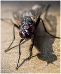 What ye looking at!?!?! (Stevie Toye) Tags: macro pose fly eyes nikon close pentax tubes extension