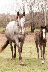 mother and foal (kimviciousphotography) Tags: ranch horses horse france nature mare languedoc foal