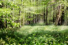 Im lichten Wald III (mrik) Tags: light sun green nature canon eos woods forrest contemporary natur os grn sonne wald sunbeam sonnenstrahlen 015 dg | 6d hsm f563 150600mm cmrk cmarik