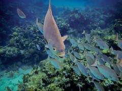 F4609E7 - Roatan Fish on the Move (Bob f1.4) Tags: school sea fish reed water fun island bay underwater snorkel infinity snorkelling caribbean roatan hondurad