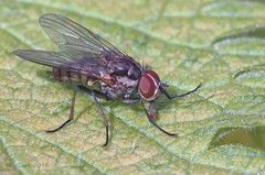 Fly - possibly Tachnidae species (Thomas Covenant) Tags: ngc naturethroughthelens