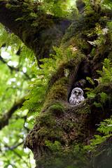 Barred Owlet (OwlPurist) Tags: oregon portland barredowlet