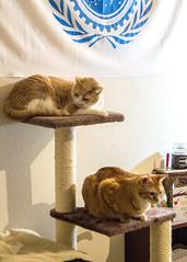 Alex and Luke (MightySnail) Tags: blue startrek white tower alex cat emblem ginger stand beige shadows flag tabby luke tan starfleet