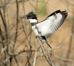 BELTED KINGFISHER (sea25bill) Tags: california morning blue sun bird nature wings wildlife kingfisher perch belted