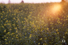 Sonnar 180mm 2.8 (Ney Bokeh) Tags: flowers sunset dof bokeh mf cy sonnar carlzeiss 180mm