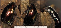 Scarab Beetle (Brissy Girl - Jan, my computer crashed again) Tags: scarabbeetle familyscarabaeidae seqldaustralia repsimusaeneus