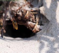 wasp (haesy) Tags: macro nature insect denmark flying wasp balticsea moen wowiekazowie